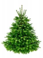 nordman fir tree