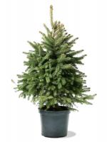 pot grown tree